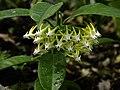 Hoya javanica.jpg