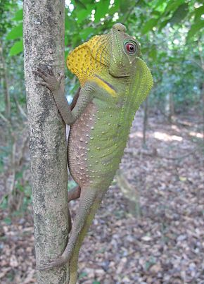 Description de l'image Hump-nosed Lizard 1.jpg.