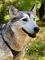 Husky (grau) im Wald.jpg