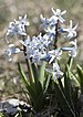 Hyacinth - Photo (c) Zeynel Cebeci, some rights reserved (CC BY-SA)