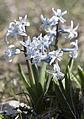 Hyacinthus - Sümbül 02.jpg
