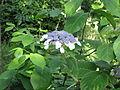 Hydrangea aspera villosa (14668548831).jpg