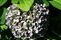 Hydrangea macrophylla All Summer Beauty 6zz.jpg