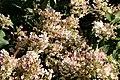 Hydrangea paniculata IMG 7766.JPG