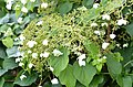 Hydrangea petiolaris 2394.jpg