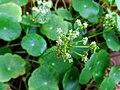 Hydrocotyle umbellata 03.jpg