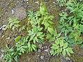 Hydrophyllum virginianum 2017-04-17 7892.jpg