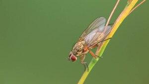 File:Hylemya nigrimana.ogv