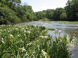 Locust Fork of the Black Warrior River - Image: Hymenocallis on Locust Fork