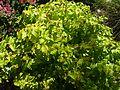 Hypericum inodorum 'Golden Beacon' J2.JPG