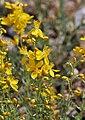 Hypericum libanoticum 1.jpg
