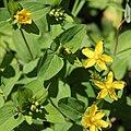 Hypericum senanense subsp. senanense (Mount Shirouma).JPG