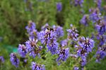 Hyssopus-officinalis-flowers.jpg