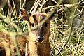 I'm a bit shy deer (25258126973).jpg