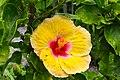 IMG 8144 Hibiscus Photographed by Peak Hora.jpg