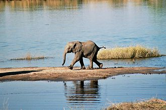 Chobe National Park - A baby African bush elephant on the banks of the Chobe River