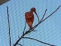 Ibis rouge (2363129209).jpg