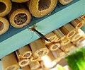Ichneumon Wasp Ephialtes manifestator female parasitising solitary bee pupae (26154481299).jpg