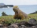 Iguane terrestre des Galapagos (Conolophus subcristatus).jpg