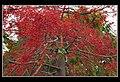 Illawarra Flame Tree (Brachychiton Acerifolius) at Sandgate-2 (6288041443).jpg