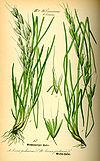 Illustration Avenula pubescens0