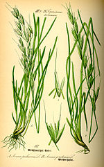 Illustration Avenula pubescens0.jpg