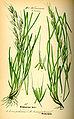 Illustration Avenula pubescens0.jpg