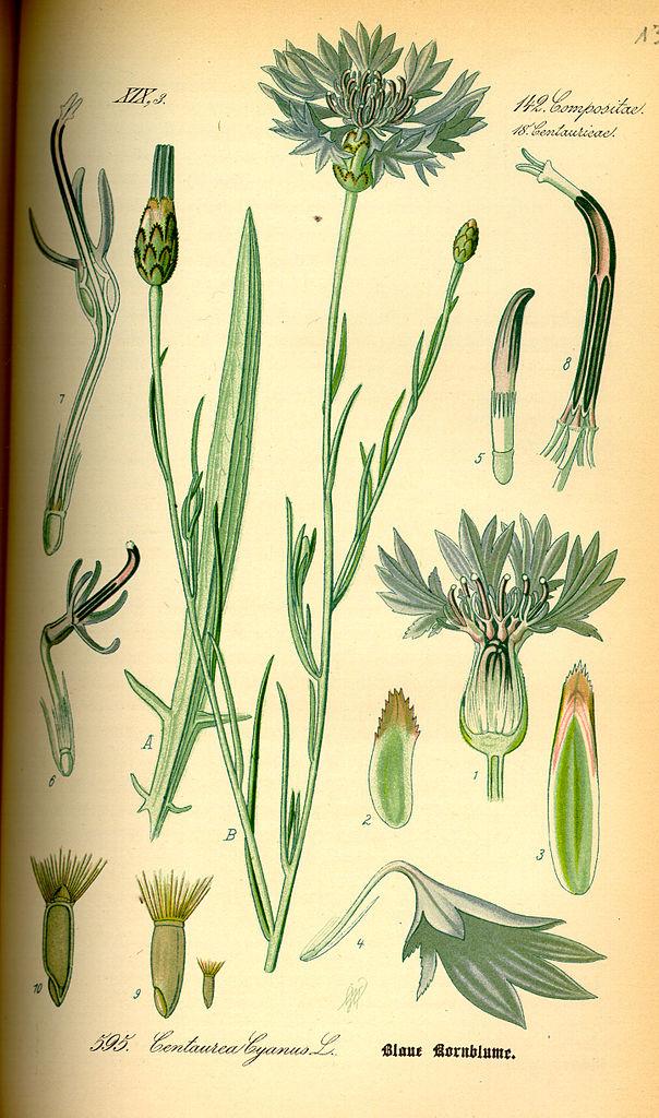 Nevädza poľná (Centaurea cyanus)