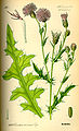 Illustration Cirsium arvense0.jpg