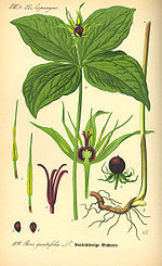 Illustration Paris quadrifolia0.jpg