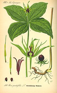 Illustration Paris quadrifolia0
