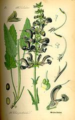 Šalvia lúčna (Salvia pratensis)