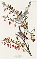 Illustration from Birds of America (1827) by John James Audubon, digitally enhanced by rawpixel-com 188.jpg