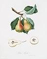 Illustration from Pomona Italiana Giorgio Gallesio by rawpixel00009.jpg