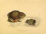 Illustrations of the zoology of South Africa (6263339435).jpg