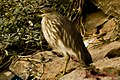 Indian Pond Heron (6822476706).jpg