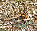 Indian Red Admiral (Vanessa indica) at Samsing, Duars, West Bengal W IMG 6369.jpg
