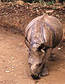 Indian Rhino (Rhinoceros unicornis) young orphan reared by the guards ... (19921218413).jpg