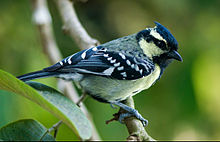 Indian black-lored tit.jpg