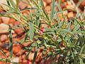 Indigofera linifolia flower.jpg