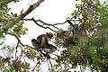 Indri indri (21397722914).jpg