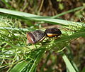 Insekt 643 bei Livorno.jpg