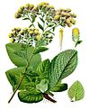 Inula conyzae - Köhler–s Medizinal-Pflanzen-192.jpg