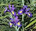 Iris Latifolia R01.jpg