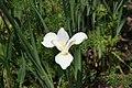 Iris sibirica 2zz.jpg