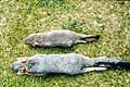 Island fox, top, v gray fox skins (26252571974).jpg