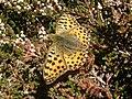 Issoria lathonia sur bruyére au massif du Montaigu.jpg