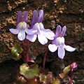 Ivy-leaved toadflax close 800.jpg