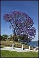 Jacaranda by Clarence River-1 (22653865002).jpg