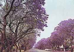 Jacaranda trees in Montagu Ave, Harare, Zimbabwe in 1975.jpg